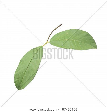 Guava Leaves Close Up Isolated On White Background