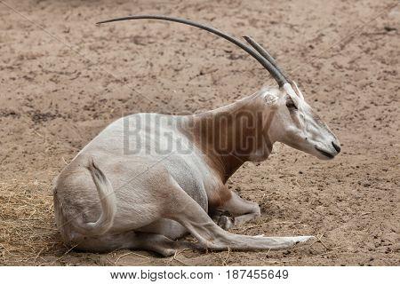 Scimitar oryx (Oryx dammah), also known as the Sahara oryx or scimitar-horned oryx.