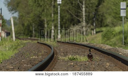 Duck on railway track in sunny spring day