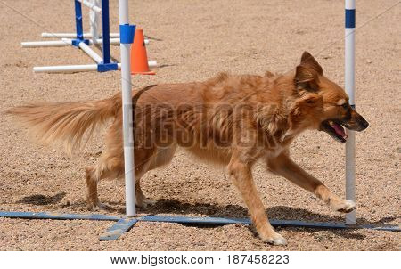 Mixed breed dog running through weave poles on dog agility course
