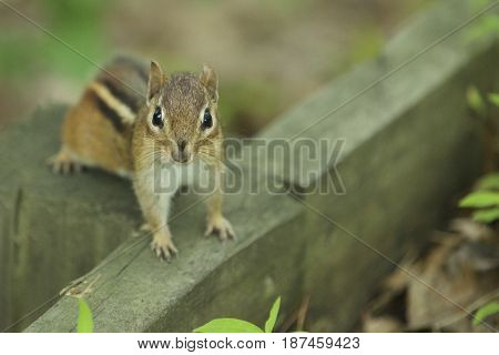A chipmunk looking at a camera from a wooden plank.