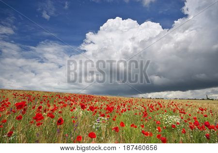 Meadow of wheat and poppies. Nature composition.