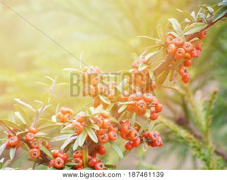 Season nature or agricultural food background concept : Branch of red berries tree with fruits and leaves in autumn