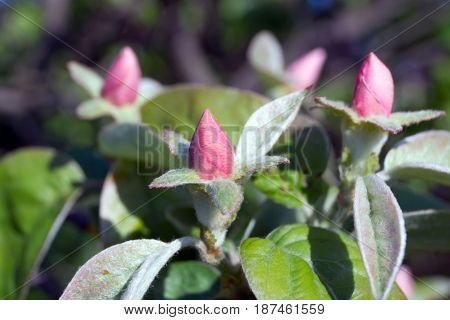 The flower of quince (Cydonia oblonga) in the trees