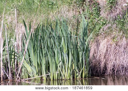 Cattail mace (Typha latifolia) plants of the waterfronts.