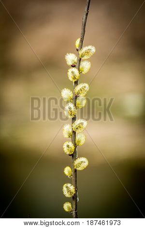 Bloom Goat willow is symbol of spring