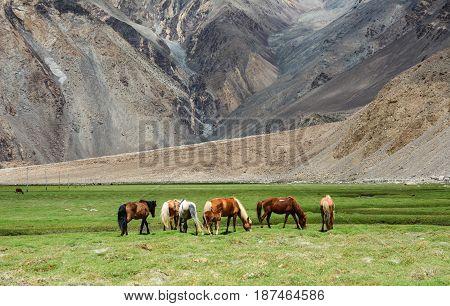 Horses Feeding On Mountain