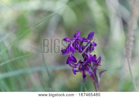 Flower of a green-winged orchid (Anacamptis morio) a wild orchid in Europe.