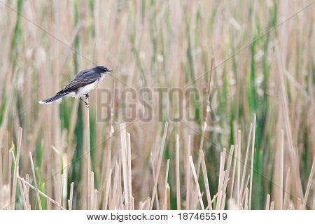 An Eastern Kingbird overlooks the reeds in a wetland.