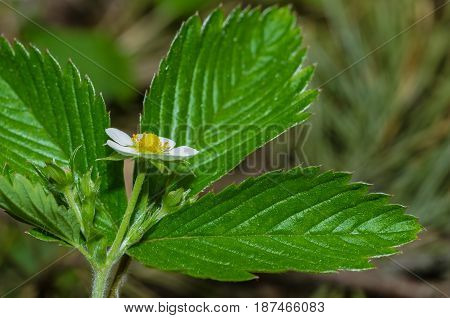 Wild strawberry blossoms in the spring in the forest with white petals