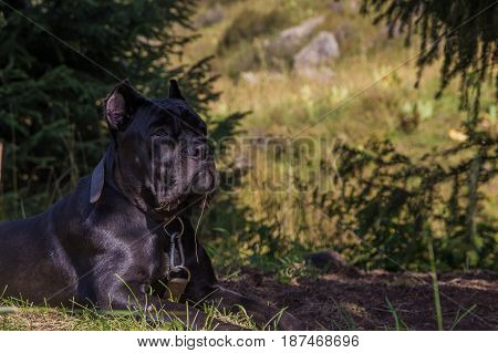 Cane Corso Italiano In The Mountains, Almaty, Kazakhstan