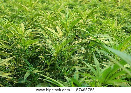 A close-up of a lush indoor marijuana canopy.