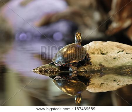 The back-side of a turtle on a rock with its reflection in very still water.