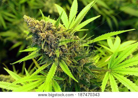 A close-up of a beautiful indoor grown female marijuana flower.