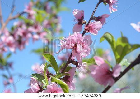 Flowers on a peach branch in a fruit garden