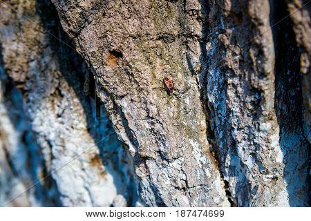 Firebug or Pyrrhocoris apterus sitting on old tree bark