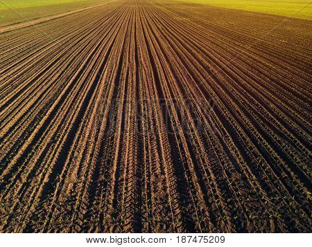 Aerial view of cultivated corn furrows maize crops in the field drone pov