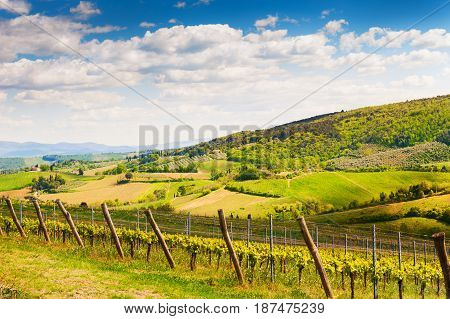 Young Vineyard On The Hills In Tuscany, Italy