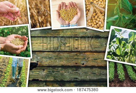 Soybean farming in agriculture photo collage on wooden background as copy space