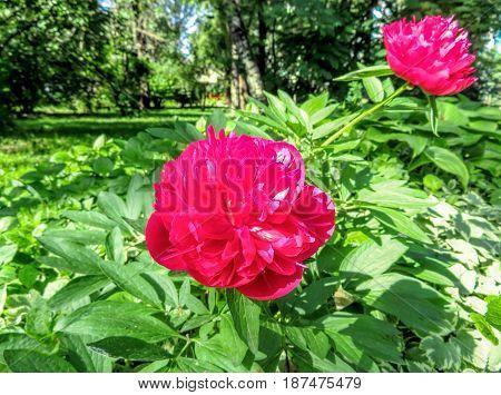 Red peonies in the garden in springtime