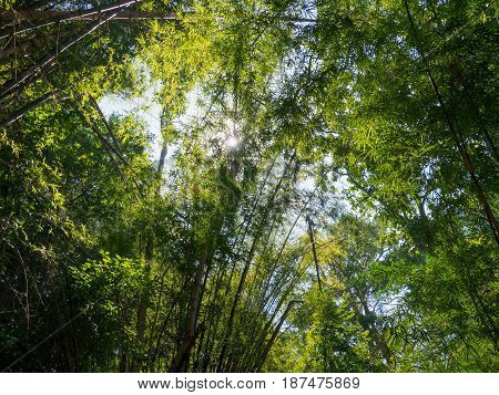 Tall bamboo trees in woods with sunlight in tropical forest.