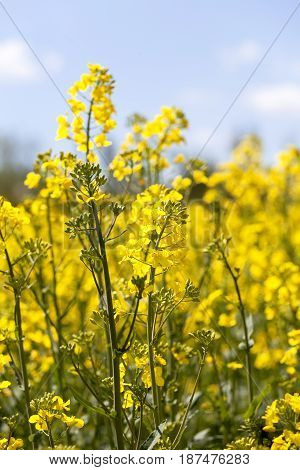 Field of blooming rape rapeseed yellow flowers canola