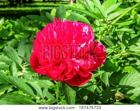 Red peony in the garden in springtime