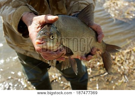 Big bream in fisherman's hand, spring catch