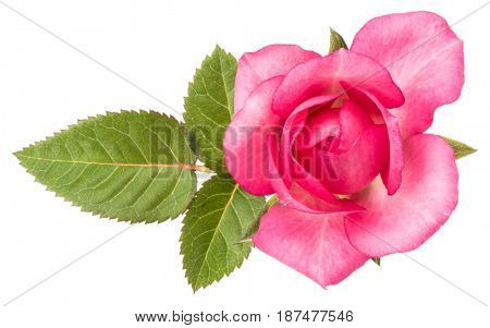 one pink rose flower with leaves isolated on white background cutout