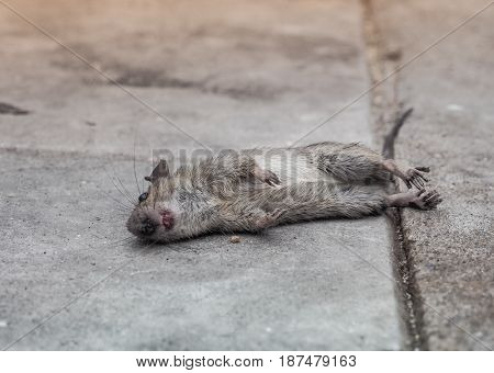 Dead rat death on the sidewalk. Selective focus