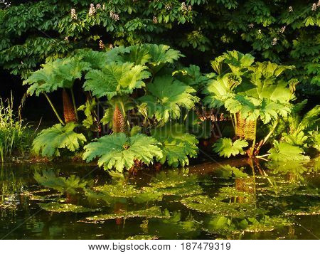 Large green textured leaves of gunnera manicata (giant rhubarb) reflected in pond