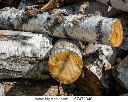 Birch firewood near the path in the forest.