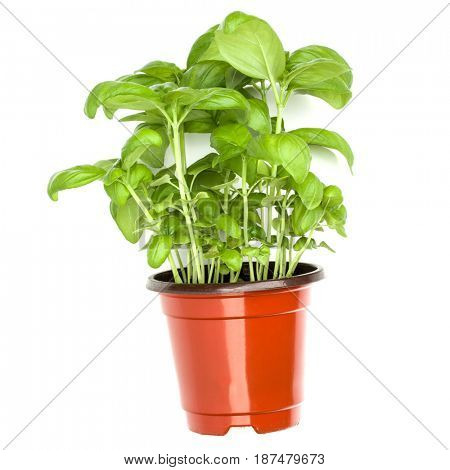 Sweet basil leaves in flowerpot isolated on white background cutout. Top view.