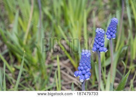 Three blue muscari on blur green and dry grass background