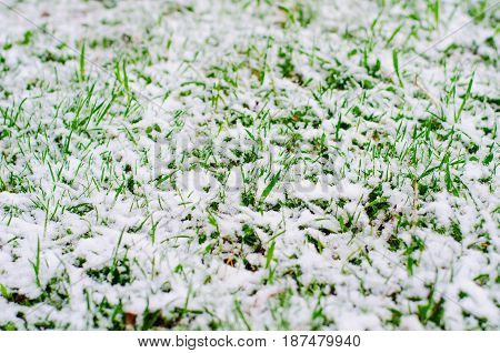 Fresh Green Grass Covered With Snow During Abnormal Cold Cyclone In April
