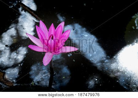 Pink lotus or water lily in the swamp.