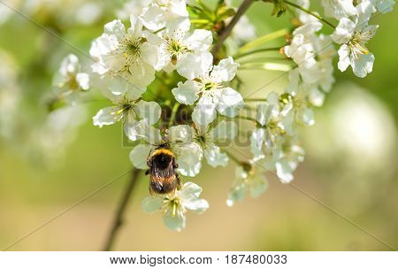 Closeup Photo Of A Bumble Bee On Flower
