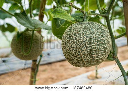 Melon Farm
