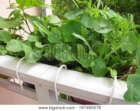 Nasturtium plants and other in flowerpots on balcony