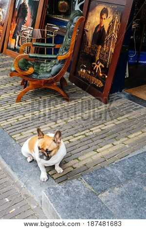 Utrecht Netherlands - August 4 2016: Dog guarding an antique shop in Utrecht. Ancient city centre features many buildings and structures several dating as far back as the High Middle Ages.