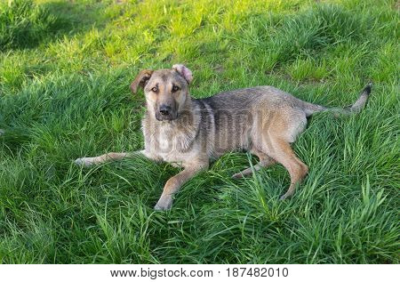 Young cross-breed stray dog resting on a spring grass in park