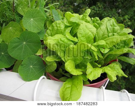 Green chard leaves in flowerpot on balcony