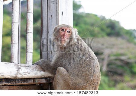 Closeup portrait of alone dreamy monkey on bamboo veranda