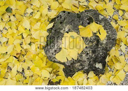 Yellow autumnal fallen leaves of Gingko biloba tree
