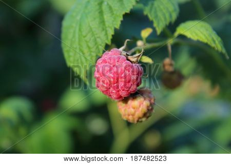 delicious sweet juicy orange raspberry pink and with leaves in the grass