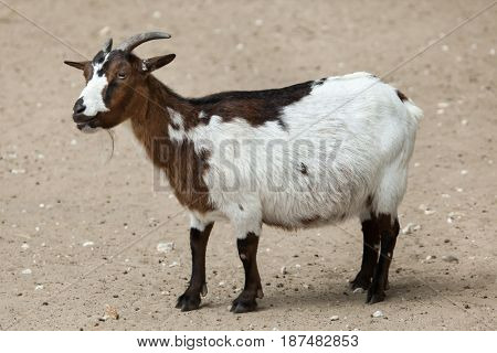 Domestic goat (Capra aegagrus hircus). Farm animal.