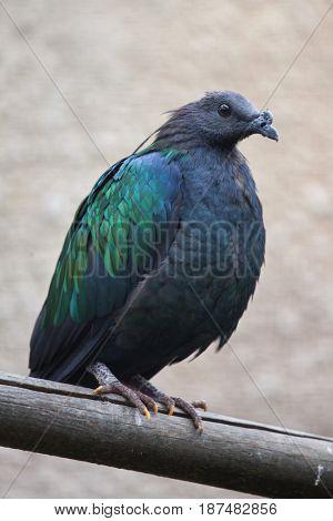 Nicobar pigeon (Caloenas nicobarica). Wildlife animal.