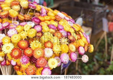 Bouquet of colorful flowers in the market. Beautiful yellow white red orange purple dry everlasting flowers or straw flowers