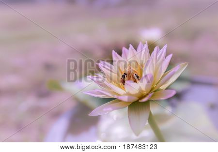 Close up waterlily or lotus flower isolated on blur background.