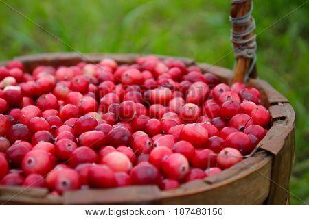 juicy cranberry in the wicker basket in the garden